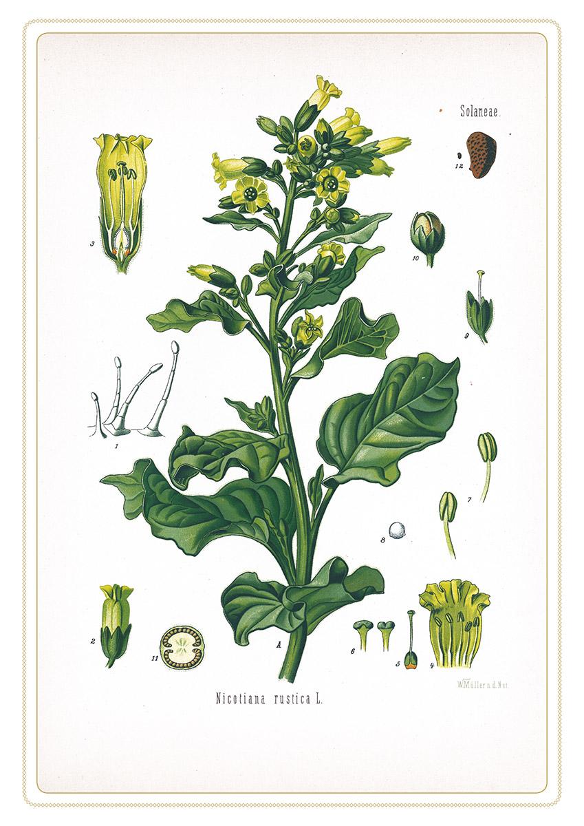 Tabak Collegium Oranienbaum Gewerkdesign